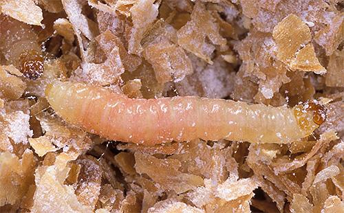 Con mucho gusto, las larvas de la polilla se alimentan de cereales, harina y frutos secos.