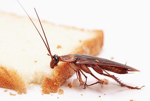 Las cucarachas son atraídas por el olor de la comida, que se usa en las trampas para ellas.