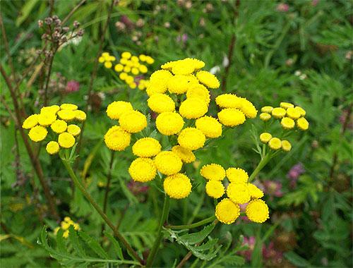 Entre las plantas cuyos olores tienen miedo a las pulgas, el tansy y el ajenjo son especialmente efectivos.