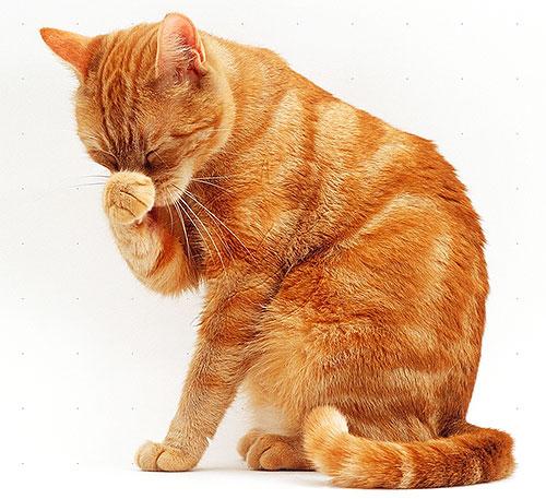 Los gatos y los gatos son más sensibles a los piretroides que los perros, por lo que deben ser especialmente cuidadosos con los productos para pulgas.
