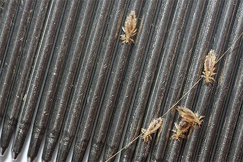 Peines para peinar los piojos: uno de los medios más efectivos y seguros para eliminar parásitos en el hogar