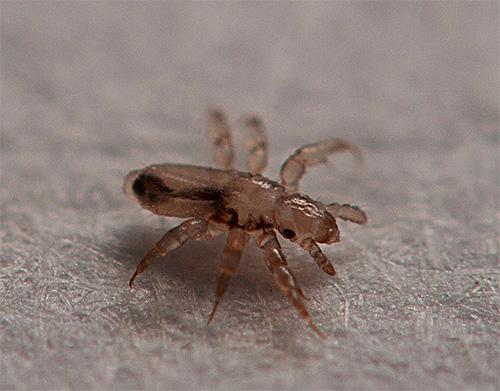 Las larvas de piojos nacen de las liendres que quedan en el cabello durante aproximadamente una semana.