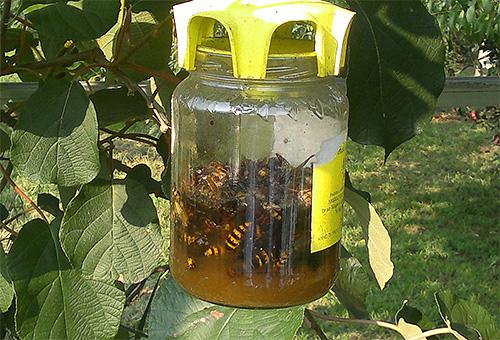 Esta es una trampa hecha a mano para avispas y avispones que cuelgan de un árbol.