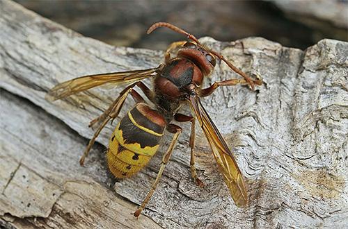 En cada caso, los medios para la destrucción de avispas y avispones deben ser elegidos individualmente.