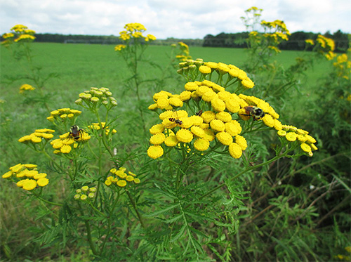Tansy es considerada una planta medicinal que es efectiva contra los insectos.