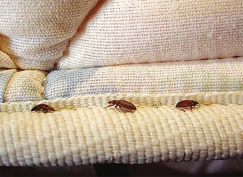 Aunque los insectos tienen miedo del olor a tansy, no los detendrán por mucho tiempo.