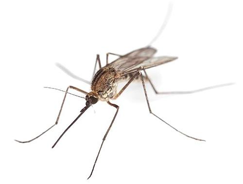 Los mosquitos necesitan un ambiente húmedo para reproducirse, por lo que también se pueden encontrar en el baño.