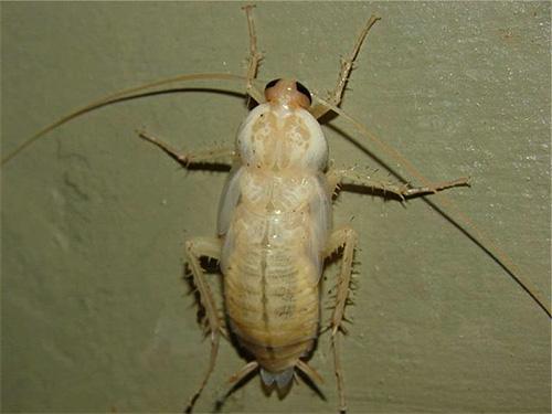 Las larvas descoloridas de la habitual cucaracha roja se ven como insectos blancos extraños por primera vez.