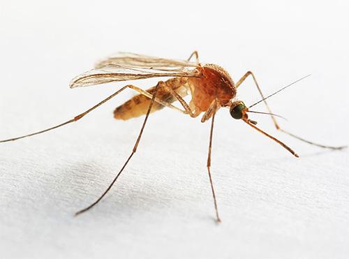 Los mosquitos también se pueden encontrar en el baño o en el inodoro, que se mantiene constantemente con alta humedad.