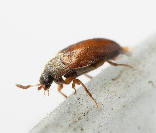 El discreto escarabajo kozheed puede causar un daño considerable en la casa