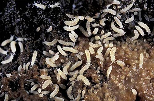La foto muestra los springtails en una maceta con tierra.