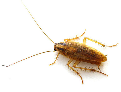Las cucarachas omnipresentes son capaces de adaptarse a las condiciones más difíciles de la existencia, de modo que las condiciones del apartamento para ellas son un verdadero paraíso.