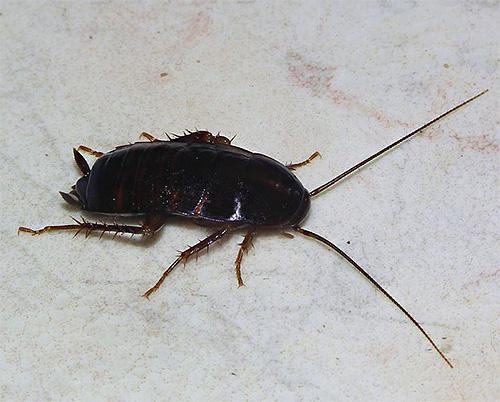 La cucaracha negra tiene el hermoso nombre latino Blatta Orientalis, y junto con su contraparte roja es un insecto sinantrópico típico.