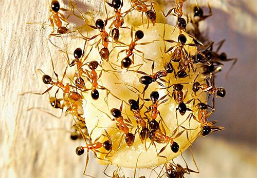 Las hormigas han encontrado un manjar al gusto.