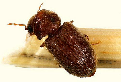 Aunque el escarabajo kozheed es del tamaño de una pulga, puede estropear a fondo sus pertenencias y alimentos.