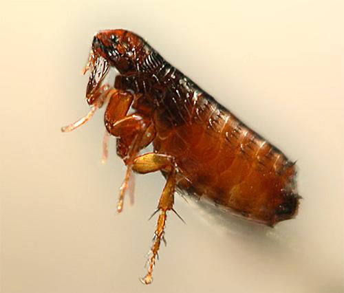 Foto de un primer plano de pulgas