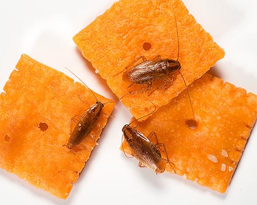 Las cucarachas domésticas contaminan los alimentos a medida que se mueven a través de ellos, contribuyendo a la propagación de infecciones.