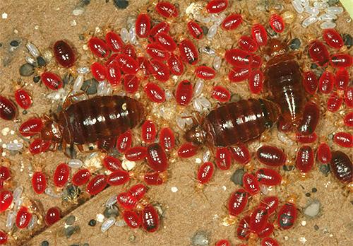 Así es como se ven los insectos adultos y sus larvas después de beber sangre.