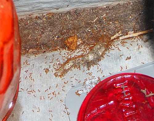 Las hormigas faraón pueden dañar la comida en el hogar.