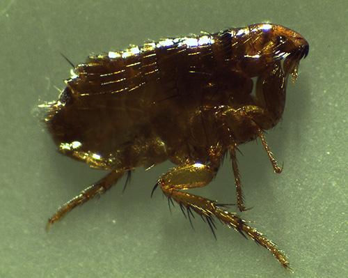 Los parásitos de insectos domésticos chupadores de sangre también incluyen pulgas.