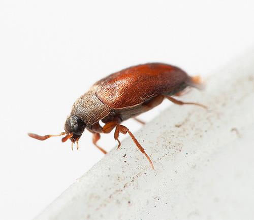 La gente a menudo ni siquiera conoce el vecindario con los escarabajos kozheedi ...
