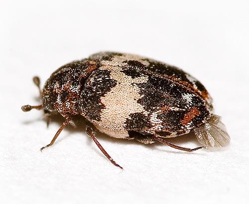 Esto puede parecer un escarabajo kozheed con un gran aumento.