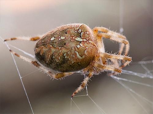 Grulla araña en la red (Araneus diadematus)
