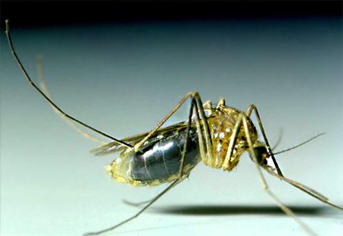 Los mosquitos en la mayoría de los casos no viven en la casa por mucho tiempo, y aparecen aquí solo para emborracharse con sangre humana.