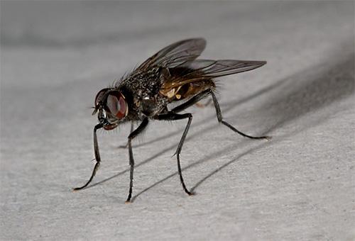 Una mosca doméstica solo se puede encontrar en la casa de un hombre.