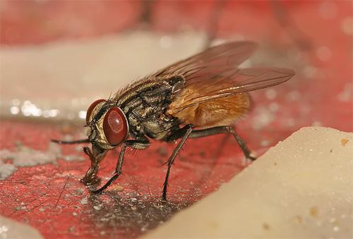 En sus patas, las moscas pueden transportar patógenos de infecciones peligrosas y huevos de helmintos.
