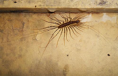 El cazamoscas come mosquitos y otros pequeños insectos.