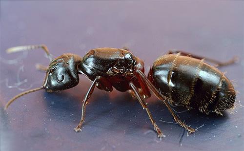 Hormiga perforadora de pecho rojo (Camponotus herculeanus)