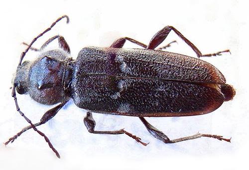 El escarabajo triturador y sus larvas pueden causar un daño significativo a las estructuras de madera, reduciendo su resistencia.