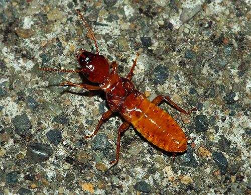 Las termitas también pueden a veces dañar el hogar de una persona.