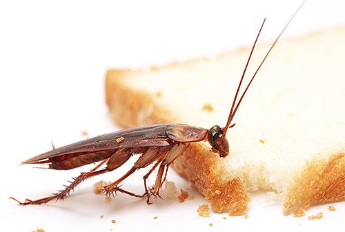 La cucaracha pelirroja es una de las plagas domésticas más comunes.