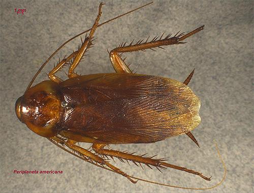 La cucaracha americana (en la foto) se está volviendo cada vez más común en nuestra área.