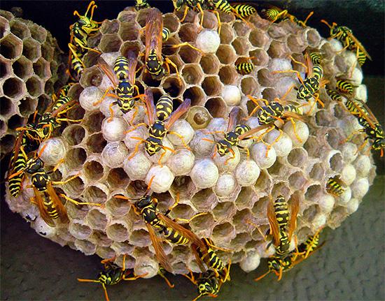 El diclorvos es muy adecuado para envenenar rápidamente insectos en el nido.