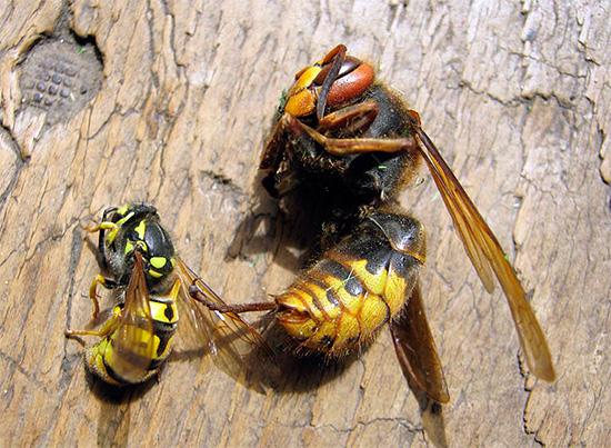 La mayoría de los insecticidas modernos tienen un amplio espectro de acción, destruyendo casi igualmente eficazmente avispas, avispones, moscas, hormigas y muchos otros insectos.
