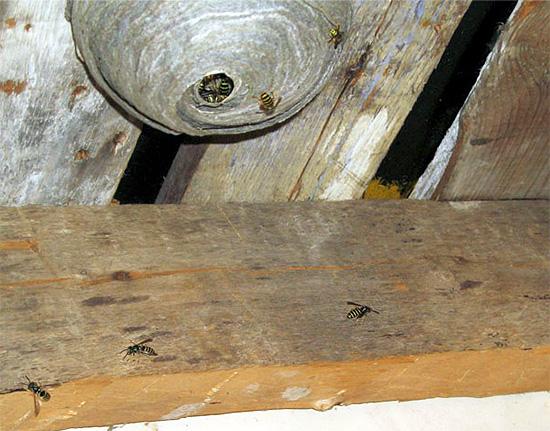 El gel insecticida debe aplicarse a superficies cercanas al nido.