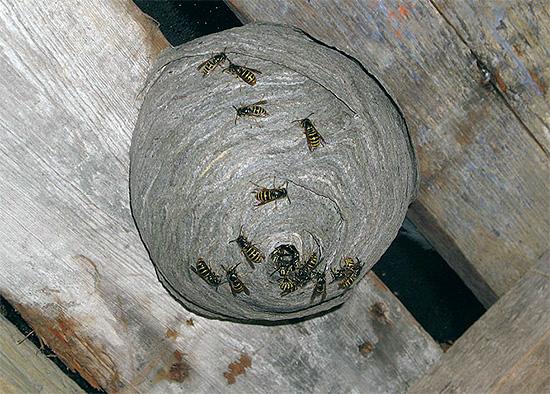La foto muestra un nido de avispas ubicado en el ático de una casa de madera.