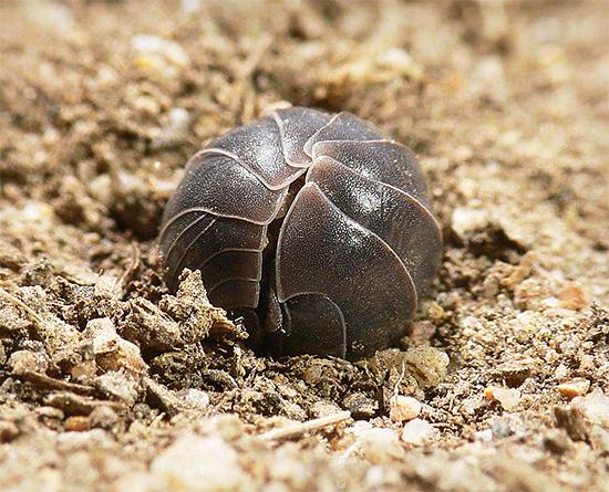 Cuando están en peligro, los piojos de la madera intentan acurrucarse, protegiendo el vientre blando debajo de la dura cáscara quitinosa.
