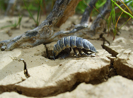 Las moscas de la madera son criaturas bastante tímidas y prefieren esconderse bajo los enganches y el viejo follaje.