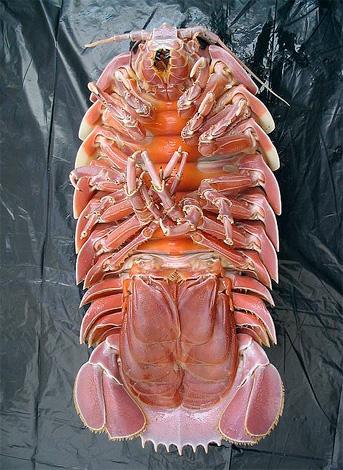 Es debajo de las cuchillas al final del abdomen de los enormes piojos de madera que se incuban sus huevos.