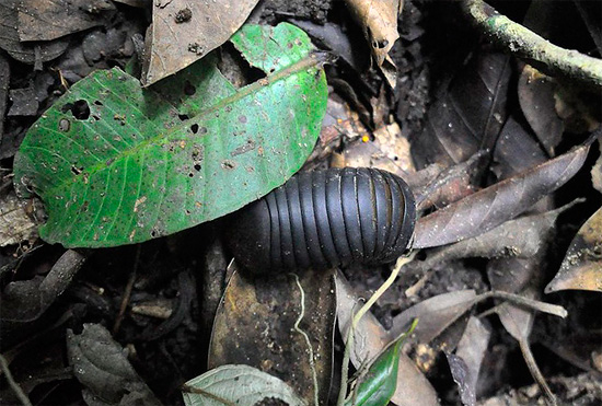 Entre las hojas caídas, este milpiés se puede confundir fácilmente con un piojo de tierra gigante.