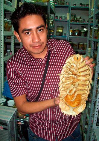 Esta es una copia seca del gigante isópodo Bathynomus giganteus (foto tomada en el centro de investigación).