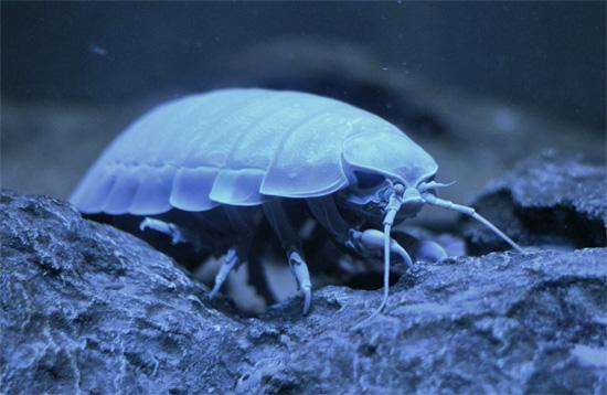 Los isópodos gigantes, por regla general, viven a una profundidad de varios cientos a 2000 metros.