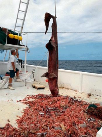 Un caso único: en un área pequeña de la parte inferior, junto con el tiburón más raro del mundo, varias docenas de ejemplares gigantes capturaron la red.