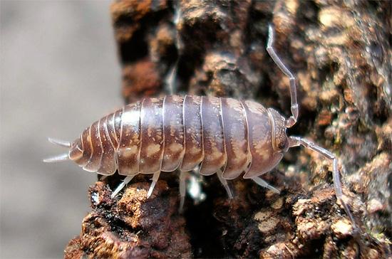 Un rasgo característico de woodlice de la especie Cylisticus convexus es la presencia de cerok pronunciado en el extremo del abdomen.