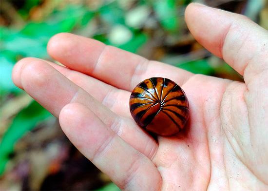 Una diferencia importante entre muchos glomeris y woodlice es su tamaño; Los piojos de la tierra prácticamente nunca crecen más de 4 cm de longitud.