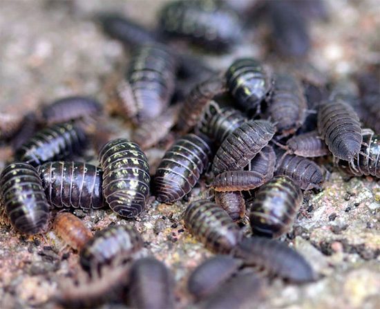 Esta foto muestra varios individuos de piojos comunes y ásperos. Intente determinar dónde está la especie ...